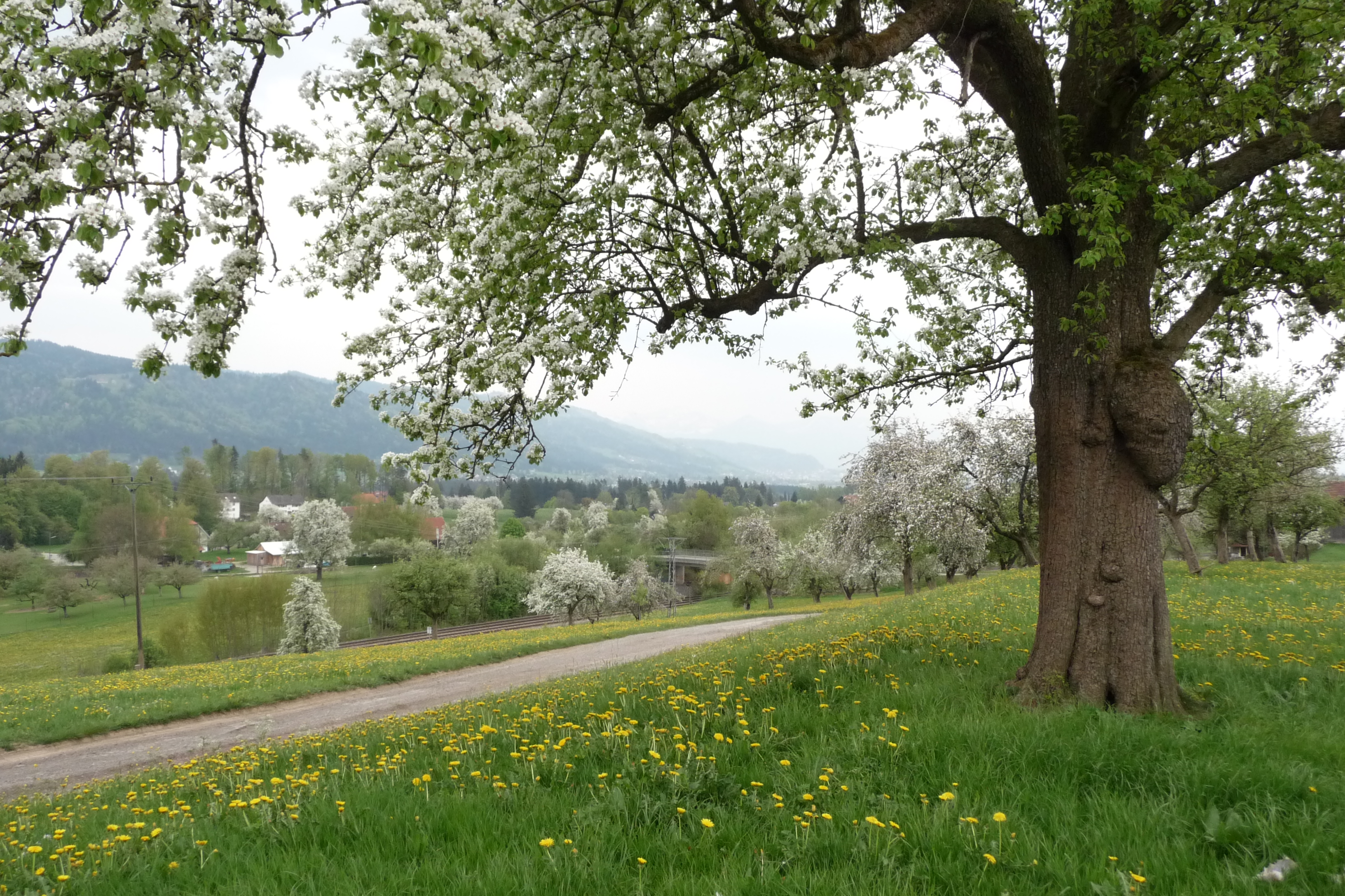 Streuobstwiesen bei Heimholz Sigmarszell